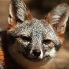Островная лисица