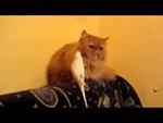 Rave parrot teases a cat / Дерзкий попугай,Comedy,,