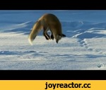 Fox Dives Headfirst Into Snow | North America,Entertainment,,A red fox pinpoints field mice buried deep beneath the snow, using his sensitive hearing and the magnetic field of the North Pole to plot his trajectory. | For more North America, visit