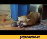 What Does the Fox Say? FINALLY SOLVED!! LISTEN FOX SOUND..,Animals,,What Does the Fox Say? FINALLY SOLVED!! LISTEN FOX SOUND.. What Does the Fox Say? FINALLY SOLVED!! LISTEN FOX SOUND.. Ylvis - The Fox (What Does the Fox Say?) [Official music video HD]