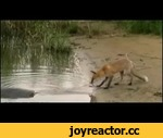 Fox against a giant fish,Animals,,And to eat something you want!