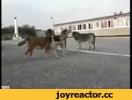 Бродячие собаки дружно воют под гимн России,Animals,,