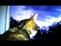 Cat and night storm / Кот и ночная гроза,Pets & Animals,MrПоделкинЦ,live,кот,гроза,люблю грозу,кот смотреть,коты,смотреть кот,про кота,гроза маи,гроза +в начале мая,начало грозы,street storm,storm,Cat and storm,Кот и гроза,night storm,ночная гроза,Ещё коты тут / More Cats: https://goo.gl/o2Cjzg  By