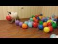 Лиса Враска и воздушные шарики. Vraska the fox and baloons,People & Blogs,Редактор YouTube,Этот ролик обработан в Видеоредакторе YouTube (http://www.youtube.com/editor)