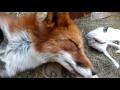 Будить приходим с нянечкой 1,People & Blogs,лисы,домашние лисы,лисы спб,животные,лисичка Алиса,foxes,red fox,