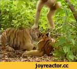 Monkey playing with tiger